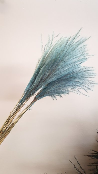 pampasgras türkis