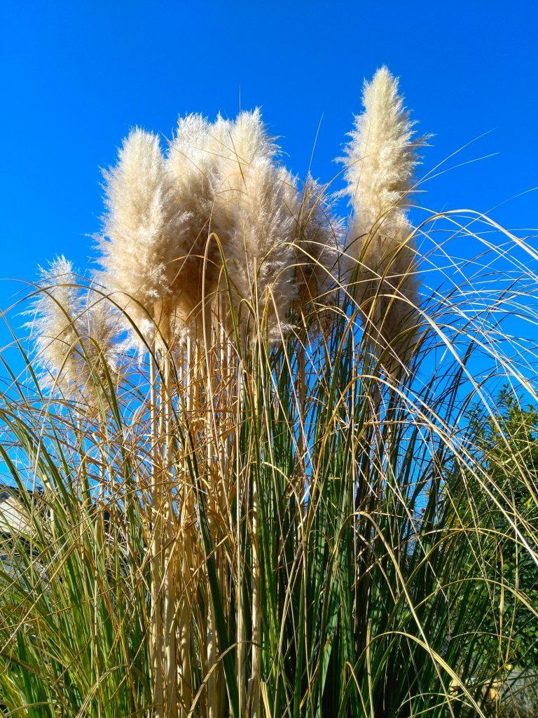 Pampasgras schneiden in der Natur